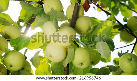group of white apples on the tree