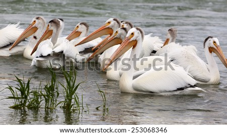 Group of  White Pelicans in the water. - stock photo
