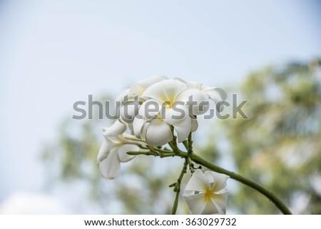Group of White Plumeria flowers - stock photo