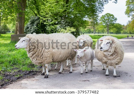 Group of white sheep and lamb on street in nature during spring - stock photo