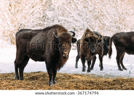 Group of wild bison in the winter is in the nature reserve - stock photo