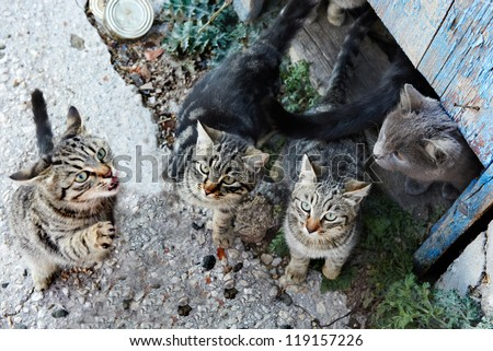 Group of wild black, gray stripped cats - stock photo