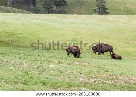 group of wild buffalo in the South Dakota grass lands - stock photo