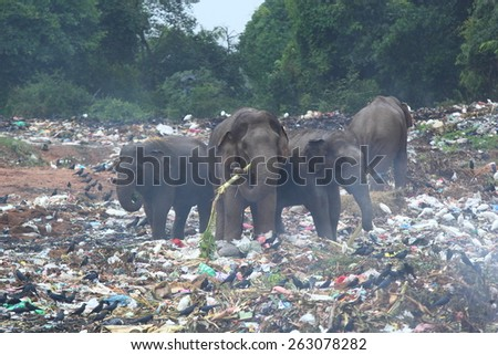 Group of wild elephants looking for in the middle of dumping ground (Sri Lanka, Trincomalee) - stock photo