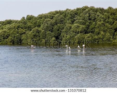 group of wild flamingos in dubai - stock photo
