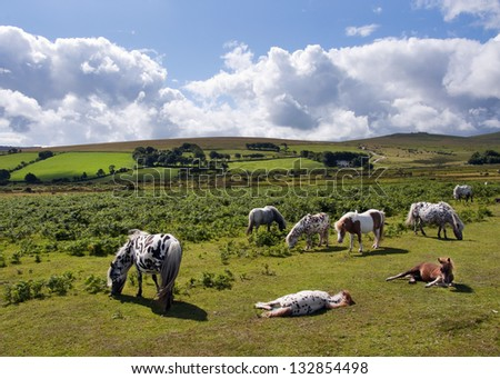 Group of wild ponies or horses grazing on a field, Dartmoor, Devon, England, UK.
