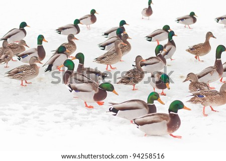 group of wind ducks in snow, idaho, north america - stock photo