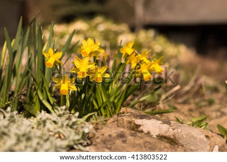 group of yellow and orange blooming narcissus flowers with stones in sunshine spring backyard garden - stock photo