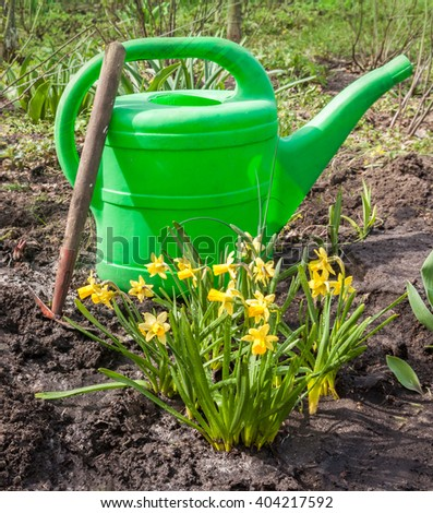 Group of yellow daffodils, watering can and hoe on a bed in a garden in  spring day - stock photo