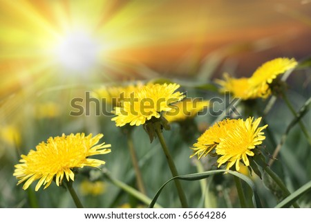 Group of yellow dandelions on sun light - stock photo