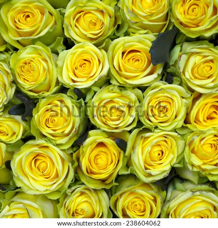 Group of yellow rose. - stock photo