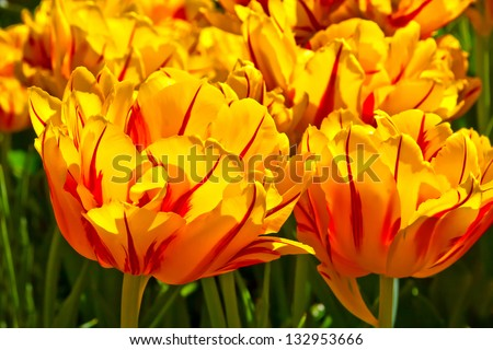 Group of yellow tulips. Spring landscape.