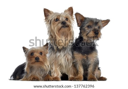 Group of Yorkshire Terrier, 3 and 2 years old and 3 months old, isolated on white