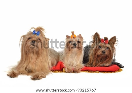 Group of Yorkshire Terrier dogs resting, isolated on white background - stock photo