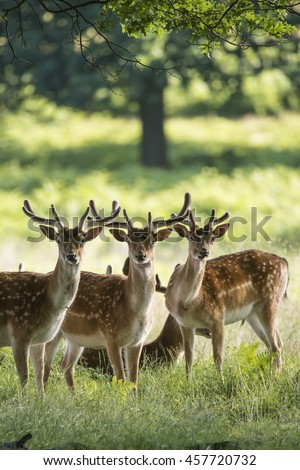 Group of young Fallow Deer stags and bucks in countryside landscape - stock photo