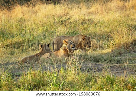Group of young male lions (Panthera Leo) resting at the shadow of a tree in Serengeti National Park, Tanzania - stock photo