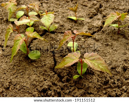 group of young tatarian maple seedlings with first true leaves - stock photo
