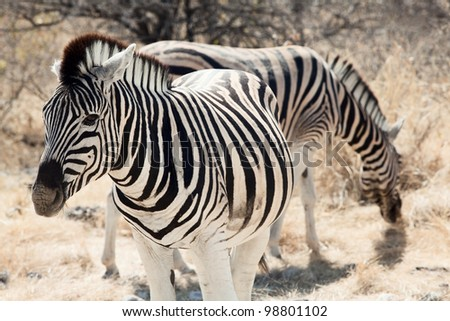 group of zebra in the Namibia national park - stock photo