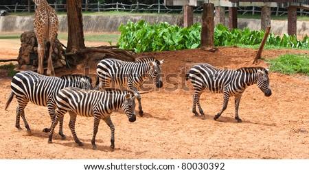 group of zebra in the zoo - stock photo