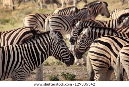 Group of zebras in Serengeti National Park, Tanzania - stock photo
