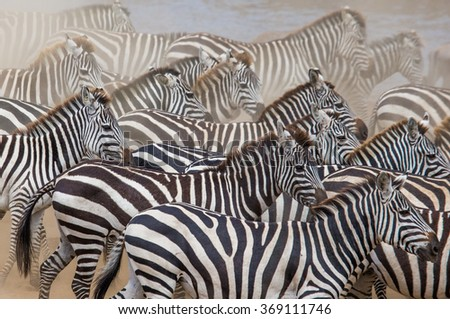 Group of zebras in the dust. Kenya. Tanzania. National Park. Serengeti. Maasai Mara. An excellent illustration.