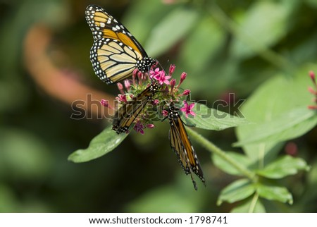 Group on Monarch butterflies on plant - stock photo