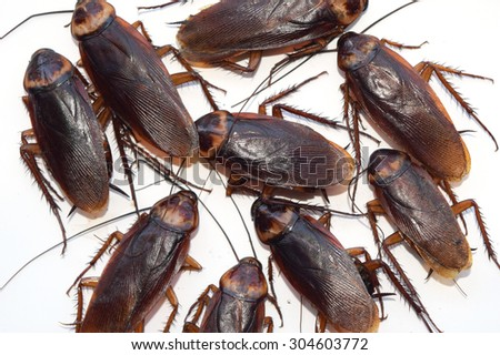 Group walk cockroach isolate on white background - stock photo
