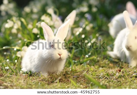 group white albino rabbits on early spring meadow background, snow-white coney