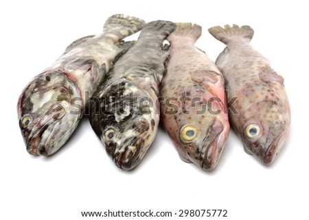 Grouper Fish on white background - stock photo