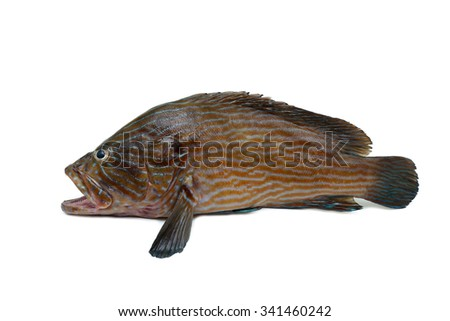 Grouper Fish on white background, Fish is cooking and Expensive. - stock photo