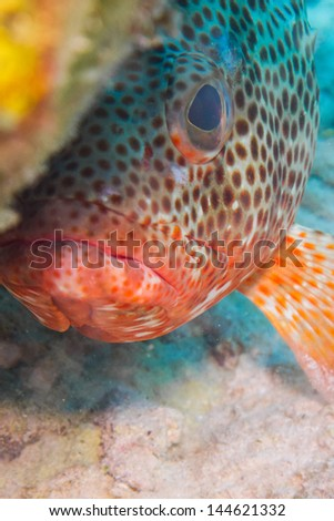 grouper from the caribbean reefs - stock photo
