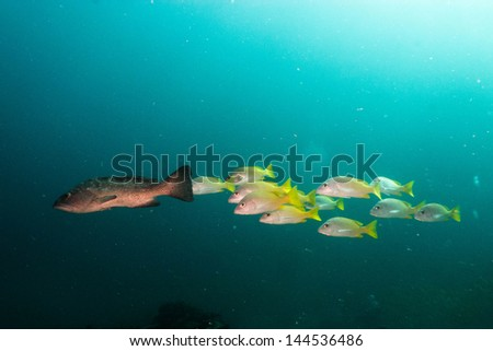 grouper from the sea of cortez, Mexico. - stock photo