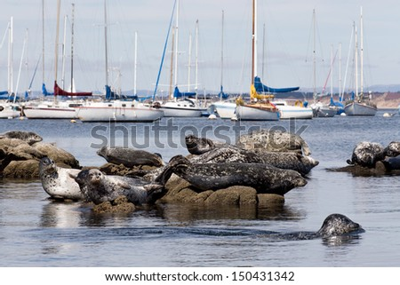 Grouping of Harbor Seals on Rocks in Monterey Bay, California - stock photo