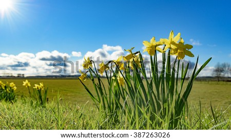 Groups of daffodils bloom in the light of the spring sun, on top of a Dutch dyke overlooking the polder landscape below. - stock photo