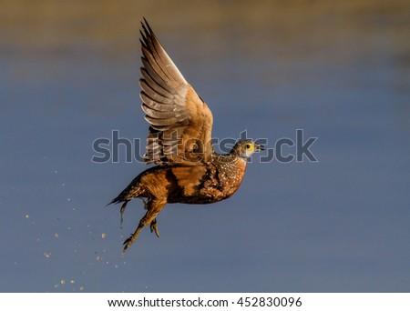 grouse in flight - stock photo