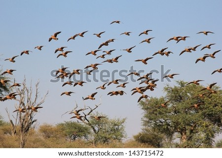 Grouse, Namaqua - Wild Game Birds from Africa - An impressive sized flock comes in for a drink of water on a game ranch in Namibia.