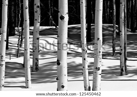 Grove of Aspen trees in winter snow - stock photo