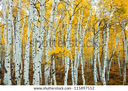 Grove of Aspens in the Fall with Yellow Background - stock photo