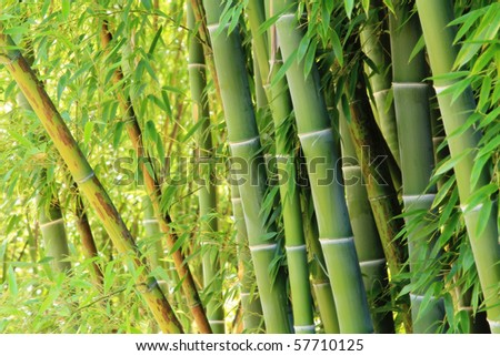 Grove of lush green bamboo. - stock photo
