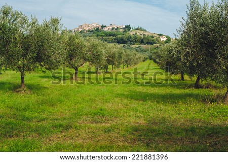 Grove of olive trees. Italy, landscape in Tuscany, morning