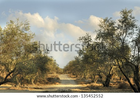 Grove of the ancient olive trees in Judea Hills, Israel - stock photo