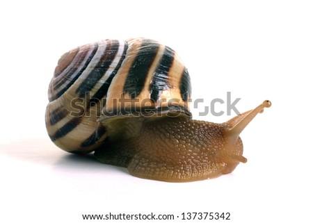 Grove Snail Cepaea Nemoralis - stock photo
