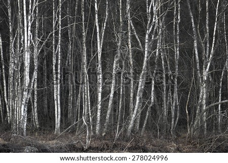 grove with thick vegetation of bare birch trees - stock photo