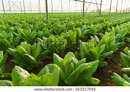 Grow salad in greenhouse pure eco frendly agriculture - stock photo