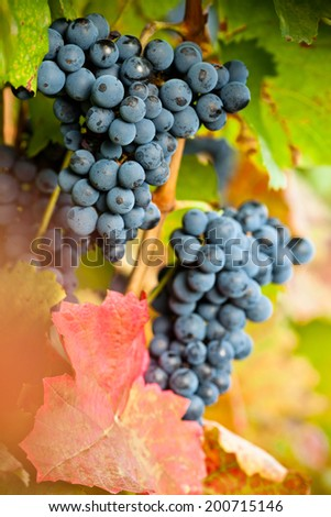 Growing black grapes in a vineyard.  - stock photo