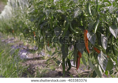 growing chili peppers. Close up - stock photo