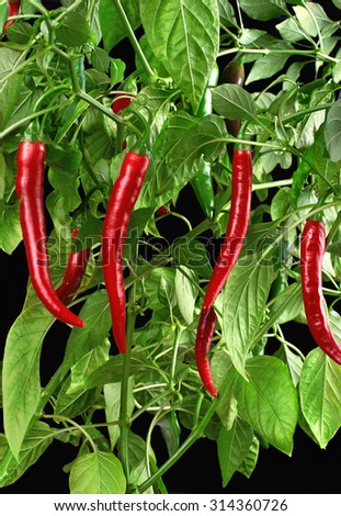 Growing chili peppers on a black background. Close up. - stock photo