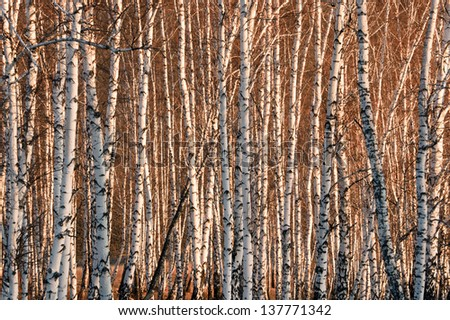 growing close to one another spring birch trees without leaves in the sunlight - stock photo