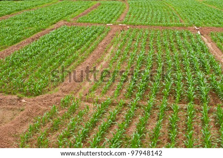 growing corn in countryside of Thailand - stock photo