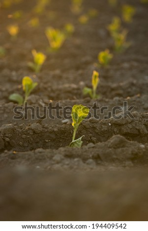 Growing field at sunset - stock photo